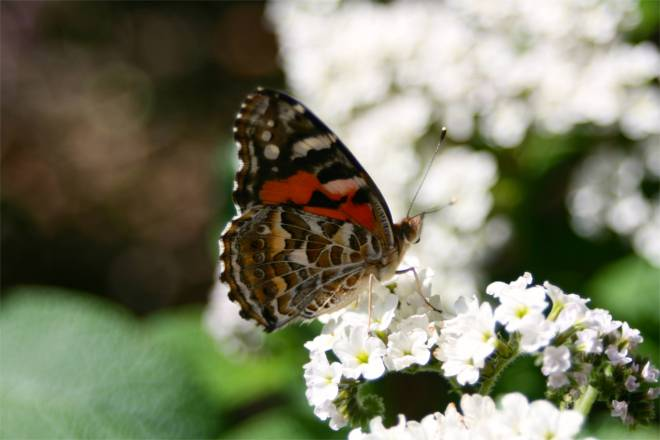 A butterfly resting on some white flowers near the entrance of the garden.