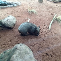 The wombat is nearly always asleep.